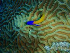 blue fish yellow gramma grandcayman braincoral royalgramma fairybasslet grammaloreto scubagrandcayman