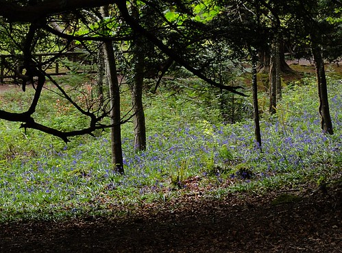 Bluebells under the trees