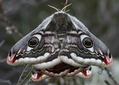 Emperor Moth - Saturnia pavonia (Guy-F) Tags: moth dorset saturnia emperor pavonia