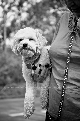 Mozart poodle cross maltese dog photography by twoguineapigs Pet Photography