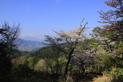 もみじ台のサクラと富士山
