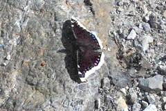 Belegbild Trauermantel, NGID1568682870 (naturgucker.de) Tags: sterreich naturguckerde obersterreich cgerhardkleinschrod ngid1568682870 traunsteinneseite