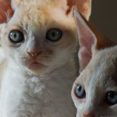 More Light (peter_hasselbom) Tags: cats sun cat kitten blueeyes flash kittens indoors devonrex 6weeksold 105mm 2cats 1flash 2kittens creamandwhite