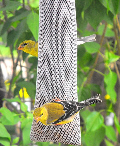 Female Goldfinches