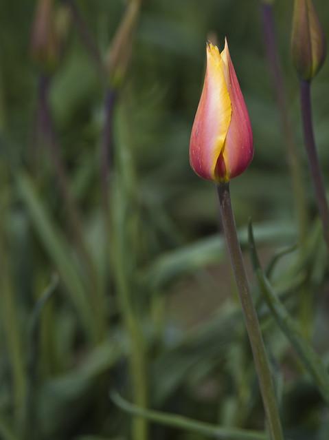 645D Tulips - 3