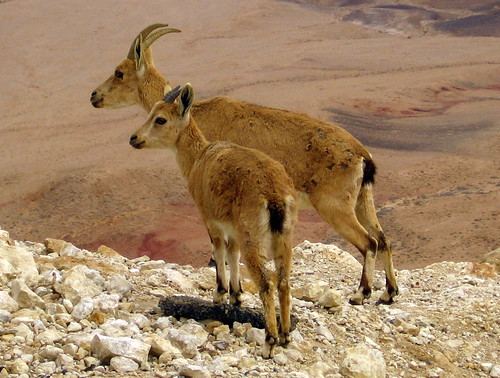 Ibex glance over the edge of Makhtesh Ramon by RonAlmog, on Flickr