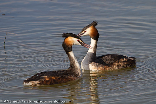 Nesting Great crested grebe by Naturephoto_FI