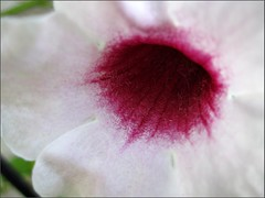 Inside a white trumpet flower