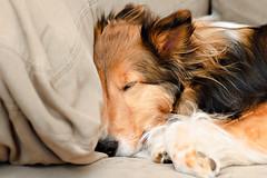 4/12: Shhhhhh... (Kerfuffle~) Tags: dog sheltie fergus shetlandsheepdog 412 sleepingdog twelvemonthsfordogs