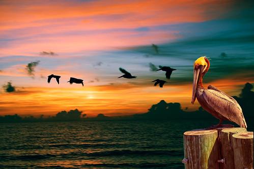[フリー画像] 動物, 鳥類, 朝日・朝焼け・日の出, ペリカン, 201105021100