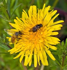 Honeybee With Unidentified Flower Fly On Dandelion (aeschylus18917) Tags: danielruyle aeschylus18917 danruyle druyle ダニエルルール ダニエル ルール japan 日本 nikon d700 nikond700 macro nature 105mmf28 nikkor105mmf28gvrmicro insect fly diptera 季節 seasons spring flower 花 flowers bloom blossom bee honeybee hymenoptera apidae apinae apini apis asteraceae cichorieae taraxacum dandelion yellow saitama saitamaprefecture 埼玉県 saitamaken chichibu 秩父市 chichibushi 秩父郡 yokoze 横 横瀬町 hitsujiyamapark hitsujiyamakoen 羊山公園 flowerfly ハナアブ 105mmf28gvrmicro 105mm ハナバチ apoidea pxt edit