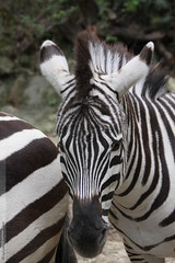 Equus burchelli bhmizebre_7 (Dominique Lenoir) Tags: france photo foto zebra fotografia zebras equus fotografa steppenzebra southfrance zbre grantzebra sigean burchellszebra 11130 burchelli seepra bhmi sebror zebror cebradegrant zebradegrant dominiquelenoir