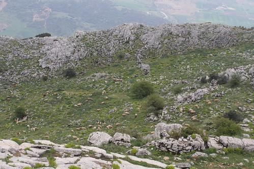 Torcal de Antequera, ovejas y cabras