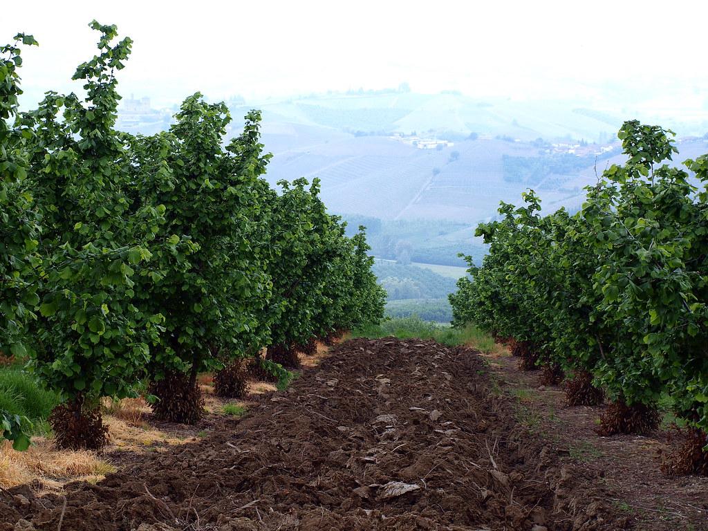 Piemontesische Haselnüsse