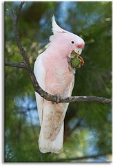 Major Mitchell's Cockatoo (Pink Cockatoo) (aaardvaark) Tags: australia nsw pinkcockatoo majormitchellscockatoo merriwagga 20110426mg0058majormitchellcockatoomerriwagga