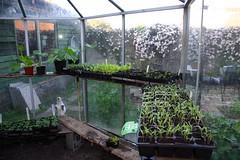 039/365: MARGOOTJE WIL ALLES GOED BEKIJKEN // MARGOOTJE KEEPS AN EYE ON EVERYTHING (Anne-Miek Bibbe) Tags: plants cat kat greenhouse today seedlings planten 2011 vandaag project365 bibbe zaailingen kasje annemiekbibbe margootje