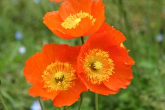 Poppy
