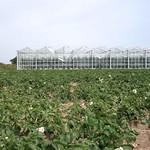 Tomate serre en verre et champ de pomme de terre à Ploubazlanec (1)