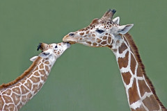 Happy Mother's Day (njchow82) Tags: portrait animal wildlife giraffe carrie calgaryzoo inspiredbylove animaladdiction beautifulexpression worldofanimals njchow82 dmcfz35 babyjango