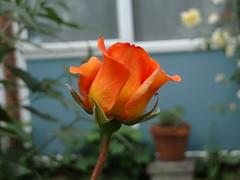 rose devant la maison
