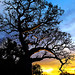 boab tree at sunrise 2