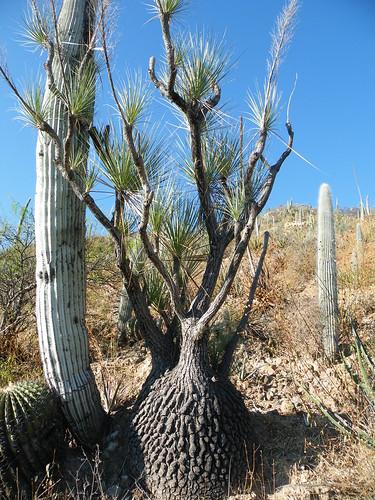 Beaucarnea gracilis