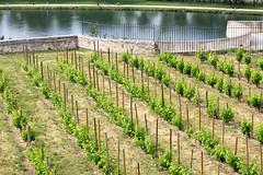 Vineyard - Rocher des Doms (misseka) Tags: france des avignon rocher doms