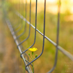 #revolutionary (light thru my lens) Tags: light flower luz yellow canon fence walking reja bokeh flor peaceful amarillo revolution revolutionary gettyimages groc thebeatles valla llum verja bso 2011 pacfica reixa canon35mmf14lusm eos7d lightthrumylens ltml