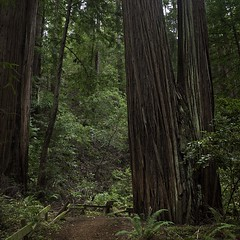 The Oldest Redwoods in San Mateo County (Greatest Paka Photography) Tags: california tree nature forest grove reserve muirwoods redwood ferns humboldtcounty sanmateo oldgrowth sorrel kenkesey midpeninsularegionalopenspacedistrict lahonda redwoodsorrel heritagegrove tallesttree hyperioncoastredwood