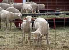 Lambs in lot
