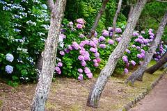 (Yorkey&Rin) Tags: june japan g1 hydrangea kanagawa 45mm rin miura  2011 jyogashima
