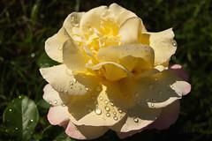 Peace with drops in sunset (atranswe) Tags: nature peace sweden natur yellowrose sverige mygarden allotmentgarden halland falkenberg koloniträdgård diamondclassphotographer flickrdiamond gulros everydayissunday atranswe flowerbudsandblossoms thegoldenflower dsc3972 afemalenordiceye 569146125083 see~a~wonder roses~allroses~onlyroses dmslair