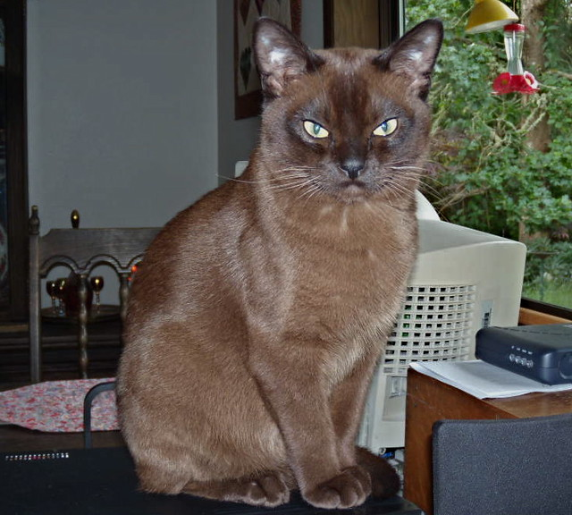 Purrfect Little Burmese