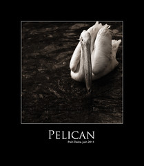 Plican (nathaliehupin) Tags: bird pelican oiseau cambroncasteau photographebruxelles nathaliehupin pairidaiza photographeluxembourg juin2011 photographehainaut photographenamur photographeliege photographemons photographebelgique wwwnathaliehupinbe wwwnathaliehupingraphismebe