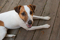 Cartoon Smile (joshames) Tags: smile michigan jackrussellterrier griz sigma1020mm grizwald canon400dxti