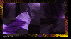 pansy (Beyond the Prism) Tags: flowers purple green pansy squares yellow brown stripes black