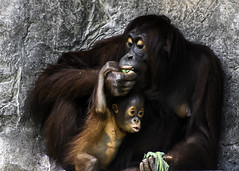 Mother and Child Share a Meal (C. P. Ewing) Tags: orangutan orangutans mother child animal animals nature natural outdoor family primate ape feeding food