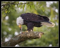 Sushi... (DTT67) Tags: eagle baldeagles raptors nationalgeographic nature wildlife canon1dxmkii canon 500mmii 14xiii onone
