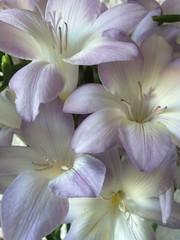 Freesias (markshephard800) Tags: shadow lights shadows light stamen petals white lilac flora flores fiori bloemen blumen freesias fleurs flowers pastels blooms