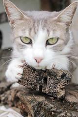 ^^ (Mfspico) Tags: cats cat feline y brothers siamese gatos gata felinos their sus hermanos siameses