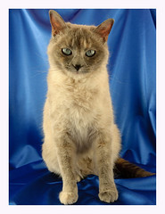 Sesi parte 2 (Alberto Garcia Benito) Tags: animal cat gato gata felino siames sesi albertogarcia