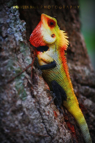 Changeable Lizard by Praveen.G