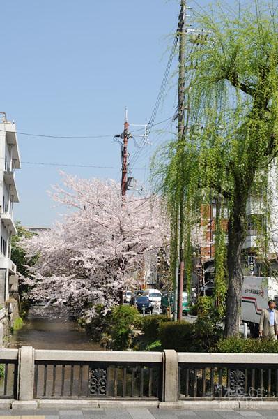 垂柳 vs. 櫻