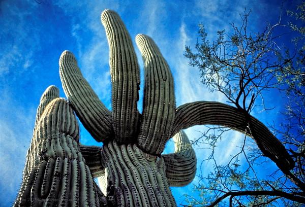 Saguaro cactus in Sonoran desert