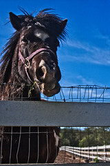 nomnomnomnom (.OhSoBoHo) Tags: california brown cute animal fence spring funny sweet pony friendly blueskies halfmoonbay chomping 2011 lemosfarm eatinggrass