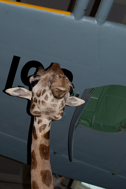 060411_ Giraffe under a Spitfire's wing