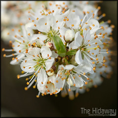 Hawthorn blossom (Simon Bone Photography) Tags: white plant flower detail macro nature closeup magnified sigma105mm hawthornblossom wwwthehidawaycouk canoneos7d
