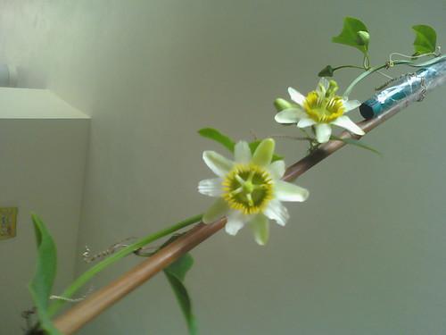 some of my passiflora 5602853159_7191f08992