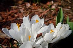 White Crocus (J_Nipper) Tags: white flower macro lens prime nikon crocus 24mm filters poormansmacro stackable d7000