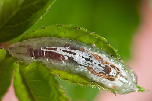 (Doorschijnende) larve van een zweefvlieg